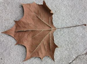 A_dead_leaf